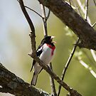 Singing Rose-Breasted Grosbeak by Sean McConnery