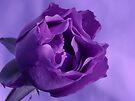 Rose in Purple II by Sandy Keeton