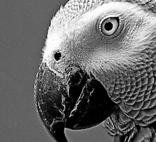 The African Grey Parrot  by Photography by Mathilde