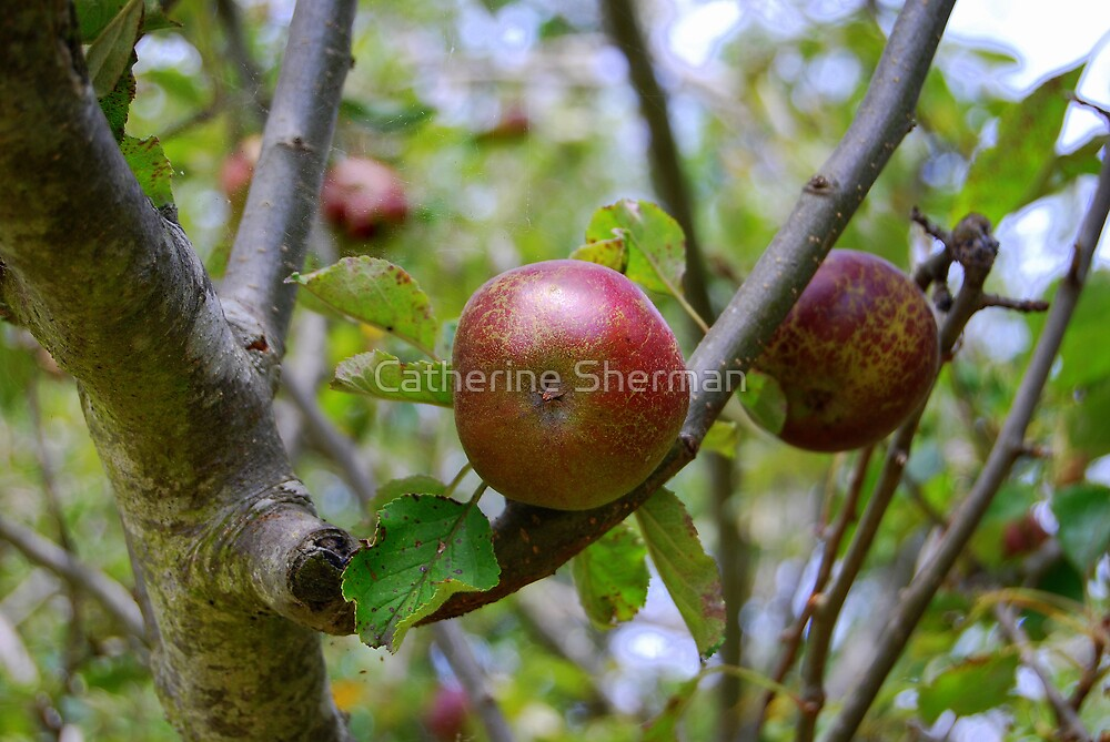 Apples, Tasmania, Australia by Catherine Sherman