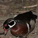 Wood Duck in the evening.  by Sean McConnery