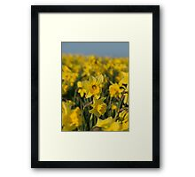 The Rising Daffodil - Lovely photo of a field of daffodils Framed Print