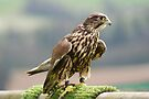 FALCON by davesphotographics