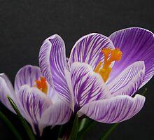Springtime splendor by Alymark