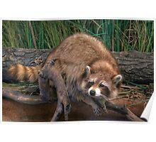 Rocky Raccoon Poster
