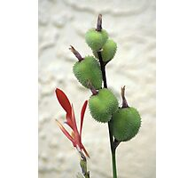 Canna Pods Photographic Print