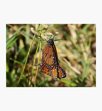 Viceroys mating Photographic Print