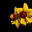 Daffodils by Jeremy Owen