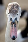 Cygnet Portrait by Nigel Bangert
