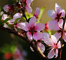 Peach Tree Blooms by amycrum