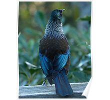 My new coat.........young female Tui........! Poster