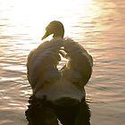 Swan Sunset by Nigel Bangert