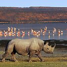 BLACK RHINO - LAKE NAKURU by Michael Sheridan