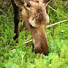 Mother Moose by Barbara Burkhardt