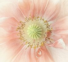 The tiny pink poppy by EbyArts