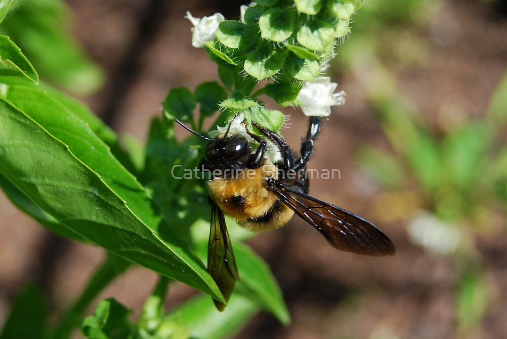 Carpenter Bee on a Basil Blossom. by Catherine Sherman