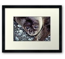 Babies, Nose to Tail. Southern Elephant Seal Pups, Macquarie Island  Framed Print
