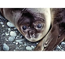 Babies, Nose to Tail. Southern Elephant Seal Pups, Macquarie Island  Photographic Print