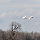 Tundra Swans 1-2015 by Thomas Young