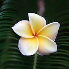 Kauai Yellow Flower by David Turton