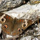 Butterfly ~ Common Buckeye by Kimberly Chadwick