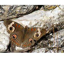 Butterfly ~ Common Buckeye Photographic Print