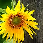 Sunflower by Deborah Jones
