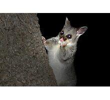 Hello Possum Photographic Print