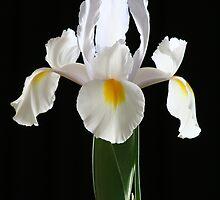 Iris by JennyMac