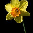 Daffodil by Jeremy Owen