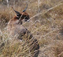 Caracal by Avril Brand