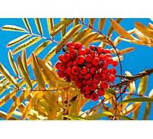 Ashberry Photographic Print