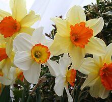 Daffodils! 2010 by Linda Jackson
