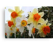 Daffodils! 2010 Canvas Print