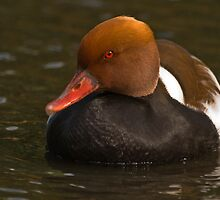 Red-creasted Pochard by Steve  Liptrot