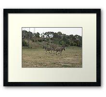 Zebra looks Framed Print