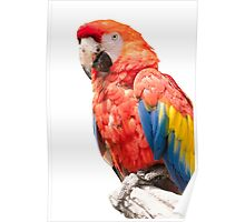 ara macaw parrot on its perch Poster