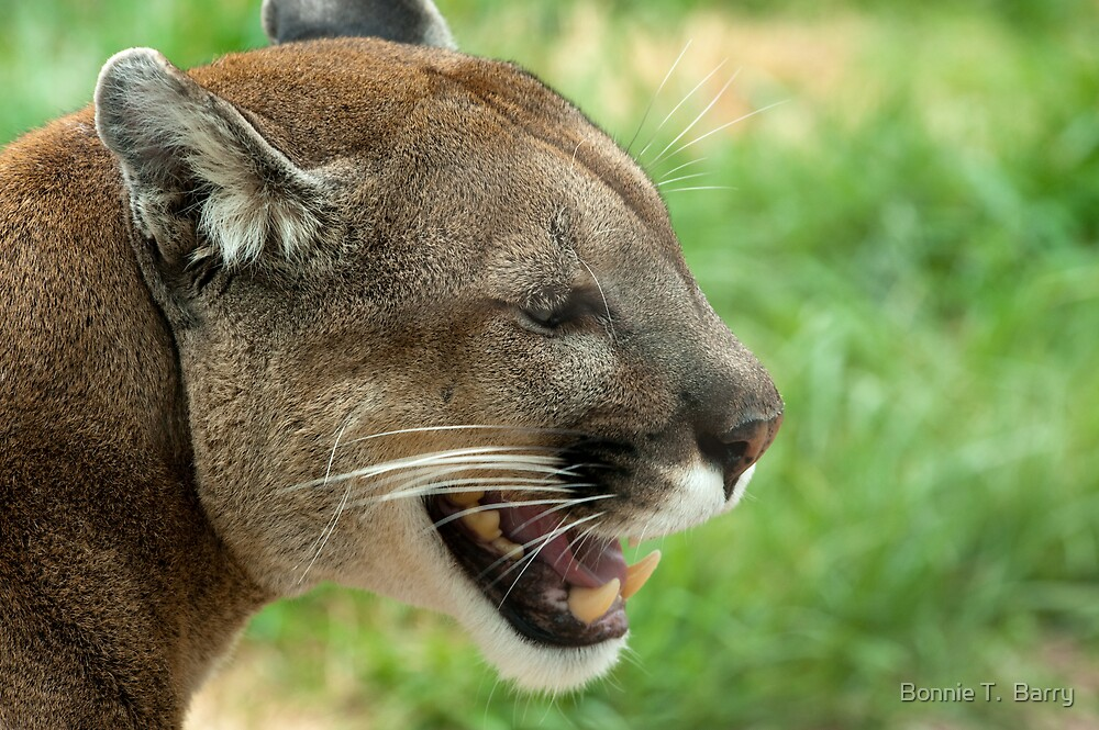 Mountain Lion on a Spring Day by Bonnie T.  Barry