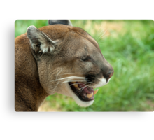 Mountain Lion on a Spring Day Canvas Print
