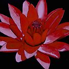 Red Water Lily by WienArtist