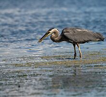 Blue Heron with Fish by genielamb