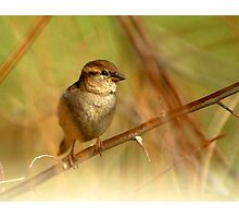 House Sparrow on Russian Olive Photographic Print