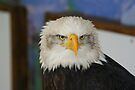 American Bald Eagle 2 by davesphotographics