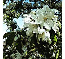Spring white blossoms, tree art, watercolor, impressionism Photographic Print