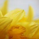 Daffodil by Robert Worth