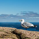 Seagull on Mountain by dbvirago