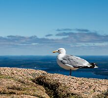 Seagull on Mountain by dbvirago