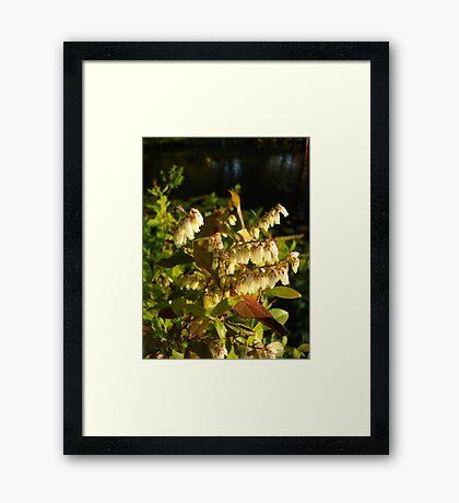 HIGH BUSH BLUEBERRY Framed Print