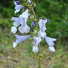 LYRE LEAF SAGE - A BEAUTIFUL FLORIDA WILDFLOWER by May Lattanzio