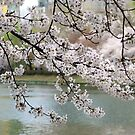cherry blossom by jihyelee